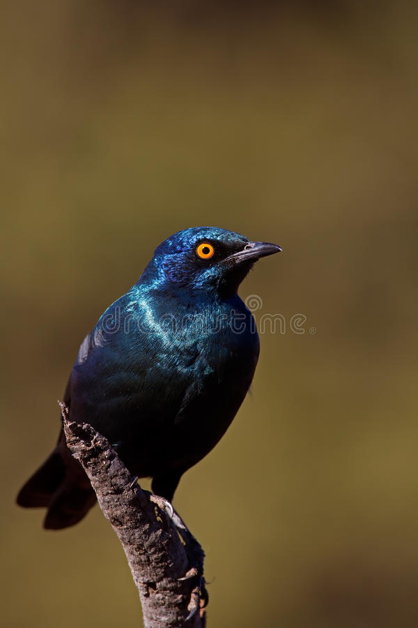 Cape Glossy Starling. Lamprotornis nitens royalty free stock photos