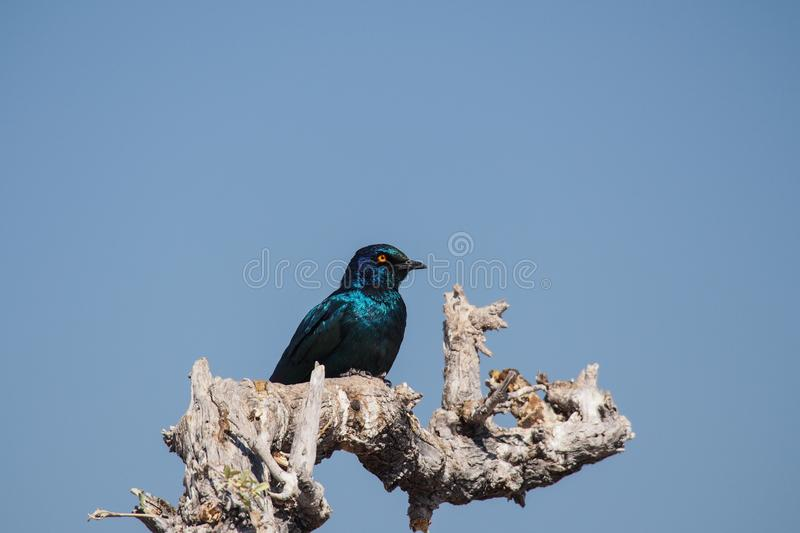 Cape Glossy Starling, Lamprotornis nitens in Etosha Park, Namibia. A Cape Glossy Starling, Lamprotornis nitens is perched on a branch in Etosha National Park stock photo