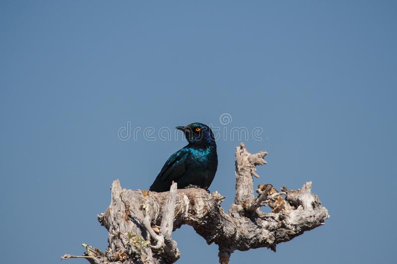 Cape Glossy Starling, Lamprotornis nitens in Etosha Park, Namibia. A Cape Glossy Starling, Lamprotornis nitens is perched on a branch in Etosha National Park stock photography