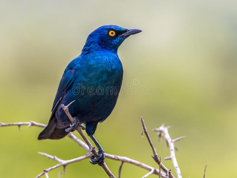Cape glossy starling (Lamprotornis nitens) iridescent blue bird with yellow eye perched in bush with bright green background in royalty free stock images