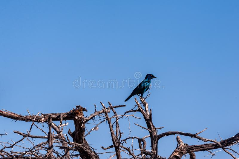 A Cape glossy starling -Lamprotornis nitens- sitting on a tree in Etosha. Closeup of a Cape glossy starling -Lamprotornis nitens- sitting on a tree in Etosha royalty free stock images