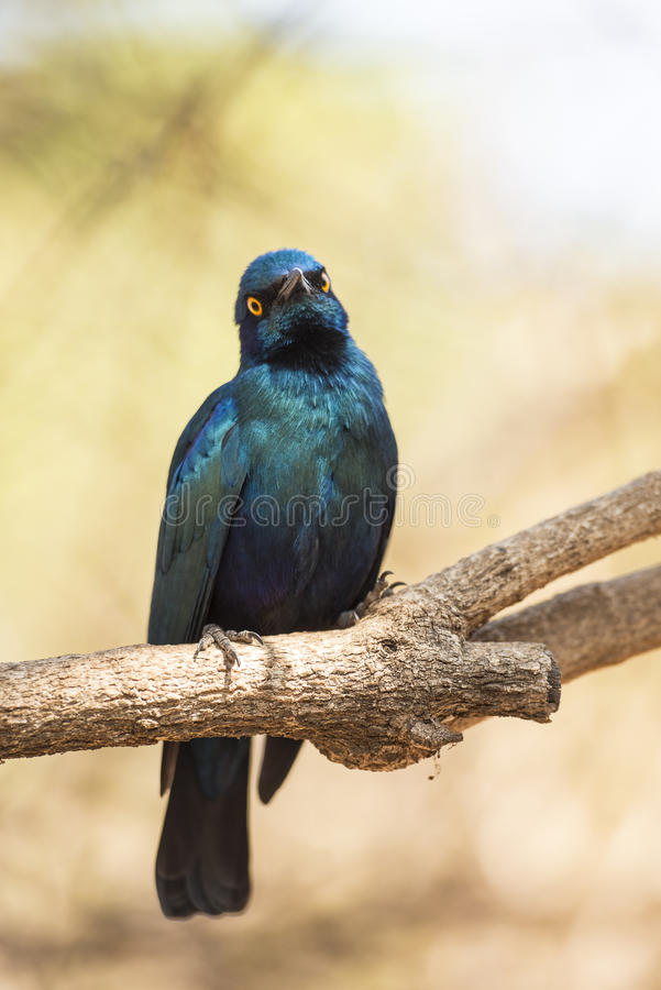 Cape glossy starling stock images