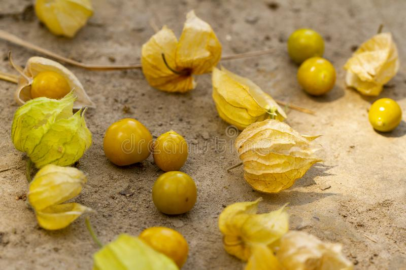 Cape Gooseberry Physalis Peruviana or Ground cherries, winter cherry, Physalis minima, Inca berry, Golden strawberry royalty free stock image