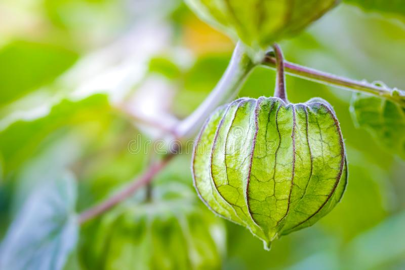 Cape Gooseberry on the tree in organic farms. royalty free stock photography