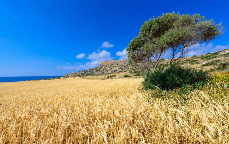 Cape greco view 1. An early summer day at cape greco in cyprus,with a tree and a wheat field in the foreground and the rocky headland and sea in the back ground stock image