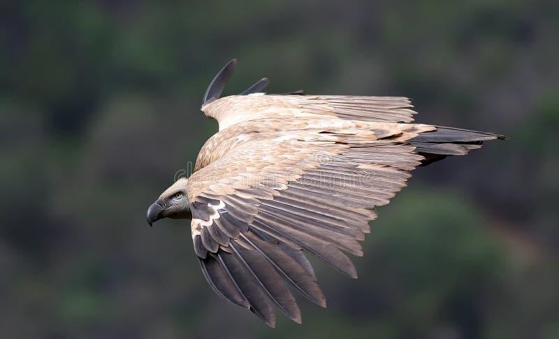 Download Cape Griffen Vulture Stock Image - Image: 4824911