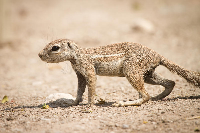 Cape Ground Squirrel Stock Photos
