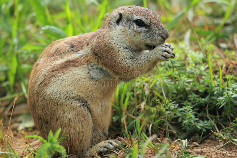 Download Cape ground squirrel stock image. Image of rodent, ground - 25211771