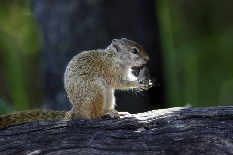Cape Ground Squirrel - Botswana royalty free stock image