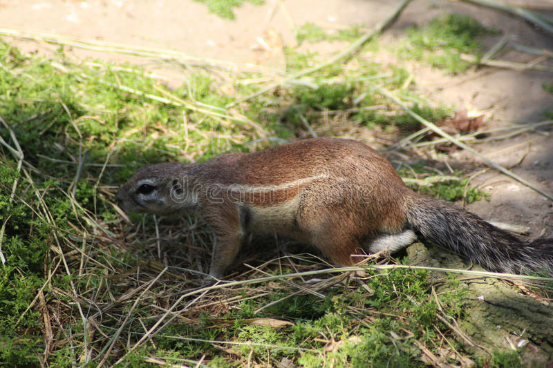 Cape ground squirrel. Xerus inauris, walking over grass. Foto taken in Rotterdam zoo, Netherlands royalty free stock image