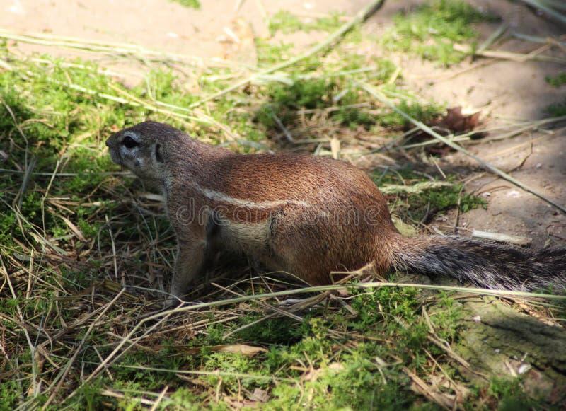 Cape ground squirrel. Xerus inauris, walking over grass. Foto taken in Rotterdam zoo, Netherlands stock photos