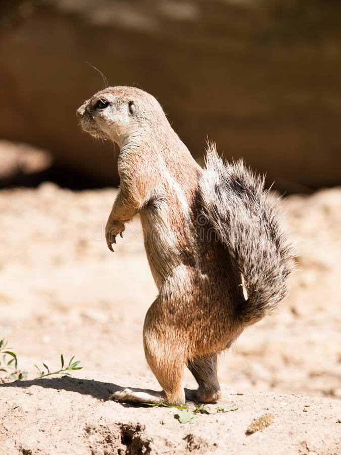 Cape ground squirrel - Xerus inauris - watch neighbourhood closely. South African ground squirrel - Xerus inauris - staying on back leg watch around closely stock photos