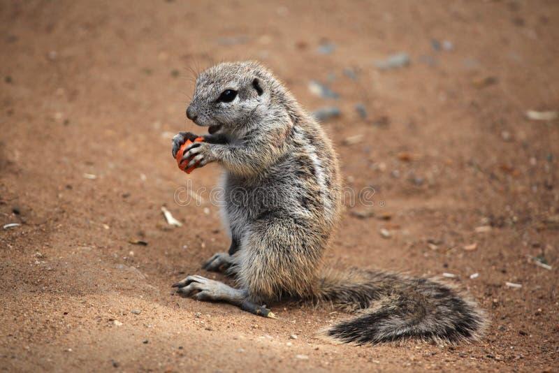Cape ground squirrel (Xerus inauris). Wildlife animal stock photo