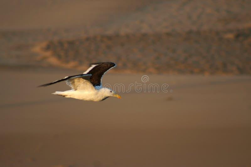 Cape Gull Stock Photos
