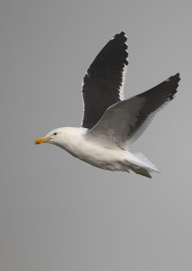 Free Cape Gull In Flight Stock Photo - 14417090