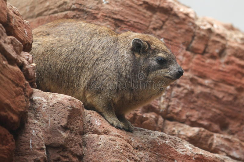 Download Cape hyrax stock photo. Image of rodent, sitting, animal - 25318812