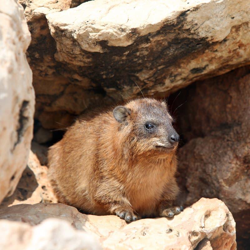 Cape hyrax (Procavia capensis) stock photography
