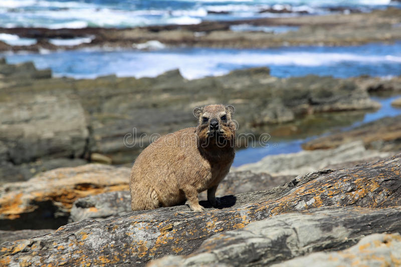 Cape Hyrax. Or Rock Dassie (Procavia capensis) in South Africa stock photo