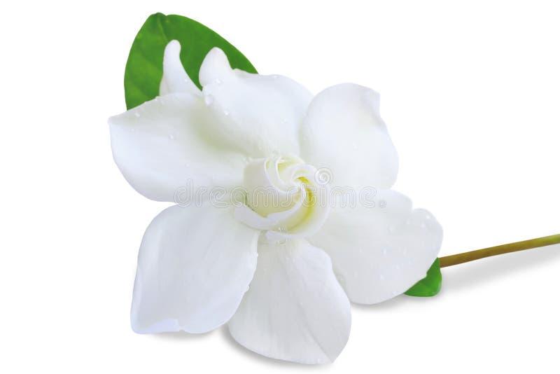 Cape jasmine flower on white background. Gardenia jasminoides or Cape jasmine flower on white background royalty free stock photo