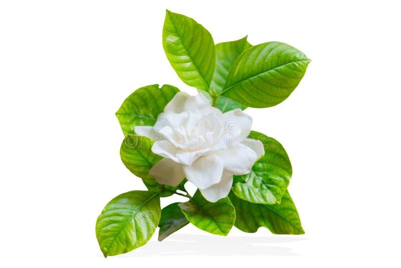 Cape Jasmine Or Gardenia Jasminoides Asia Tropical White Flower ...