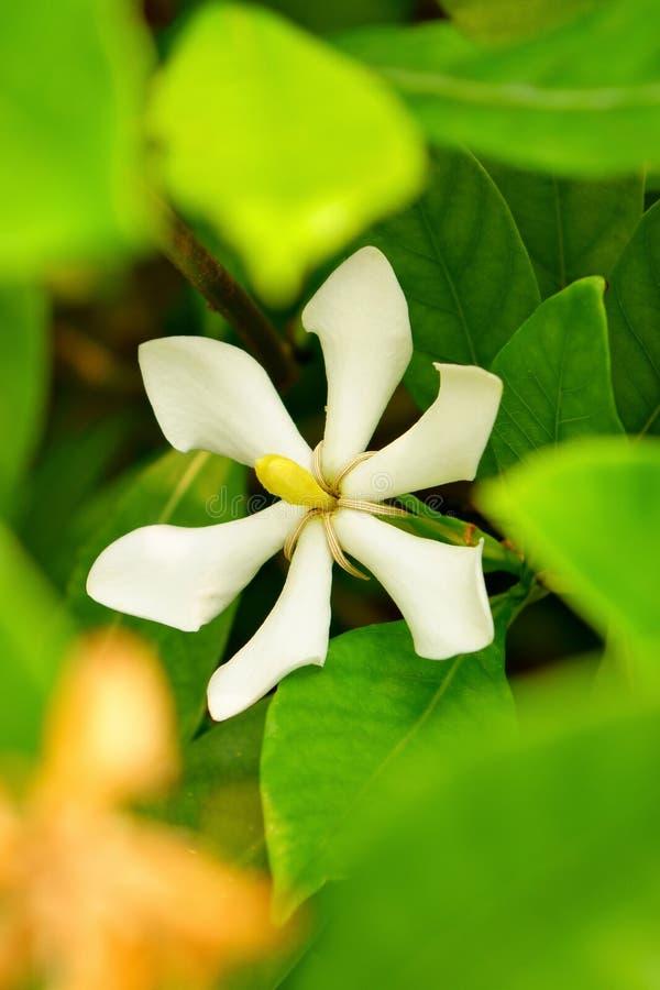 Cape Jasmine stock photo