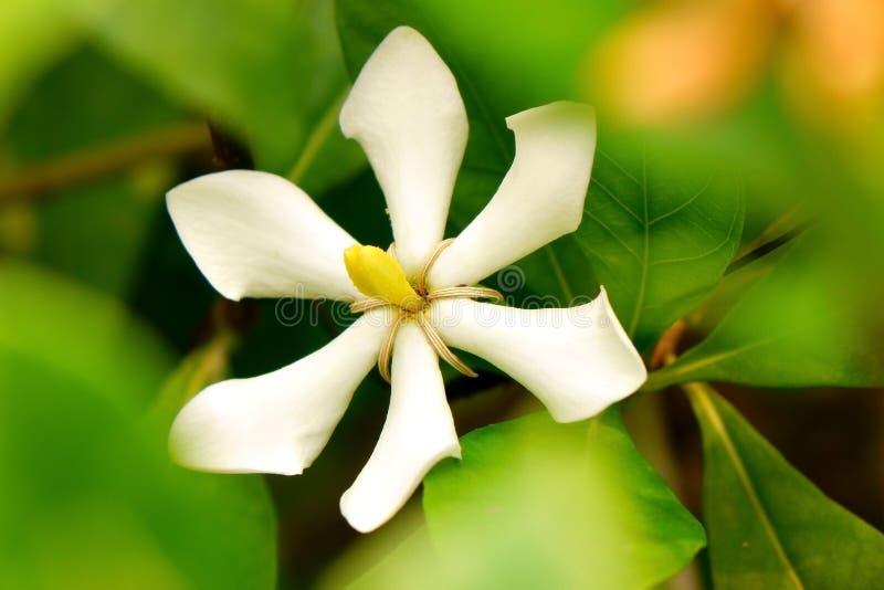 Cape Jasmine stock image
