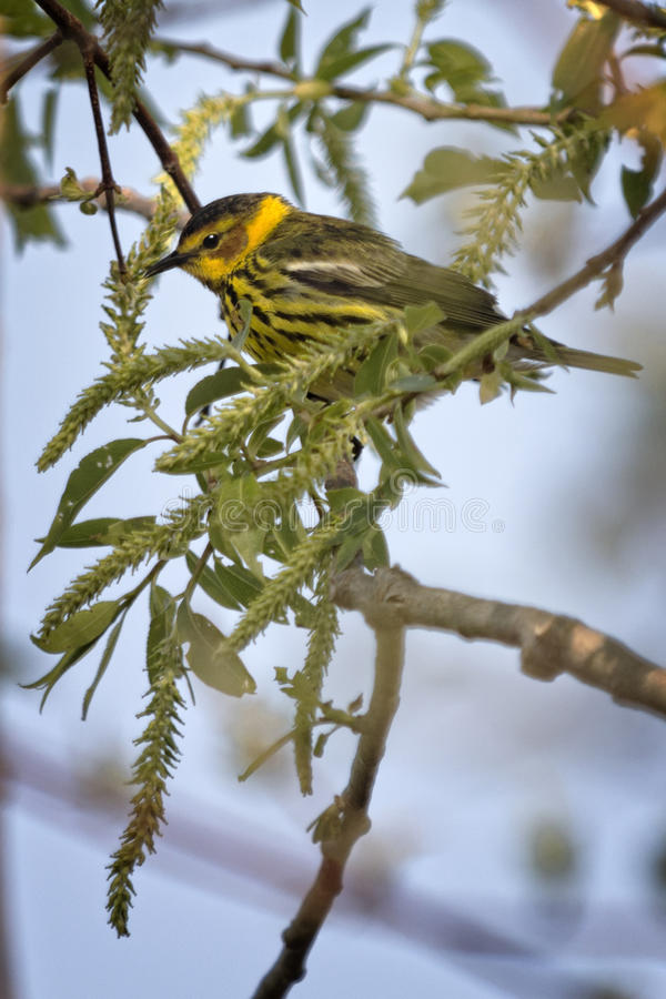 Cape May Warbler. The colorful Cape May Warbler breeds from southwestern Northwest Territories, Manitoba, Ontario, and Quebec south to North Dakota, Michigan stock photography