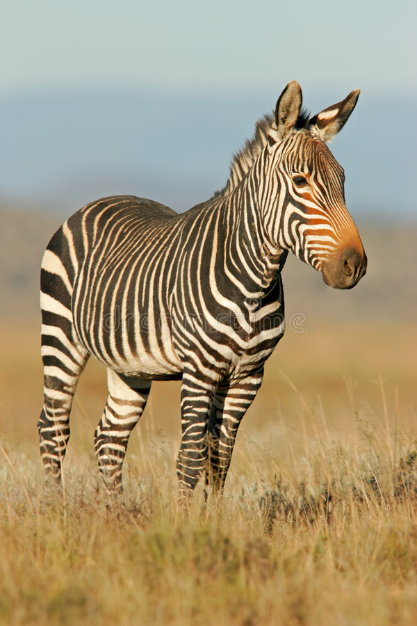 Download Cape Mountain Zebra stock image. Image of grass, alert - 1333047