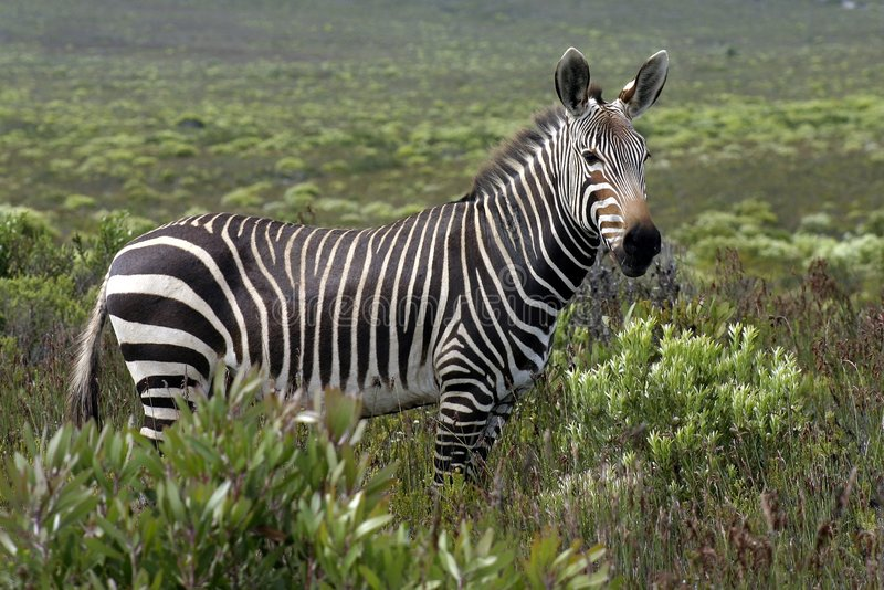 Cape Mountain Zebra stock images