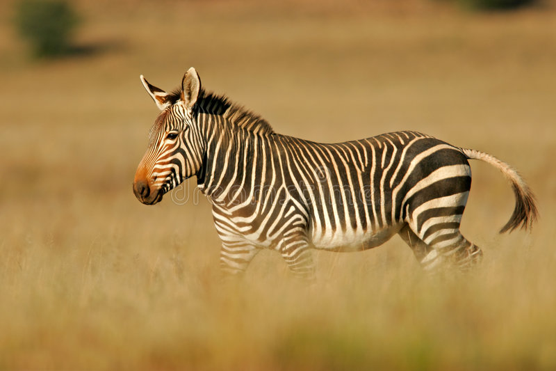 Download Cape Mountain Zebra stock image. Image of endemic, natural - 1378125