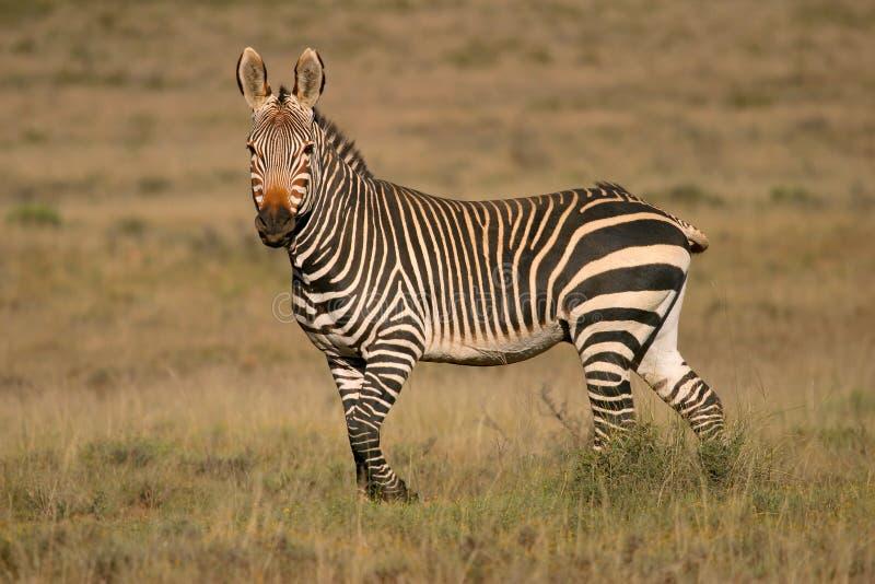 Cape Mountain Zebra royalty free stock image