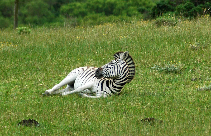 Cape Mountain zebra stock photos