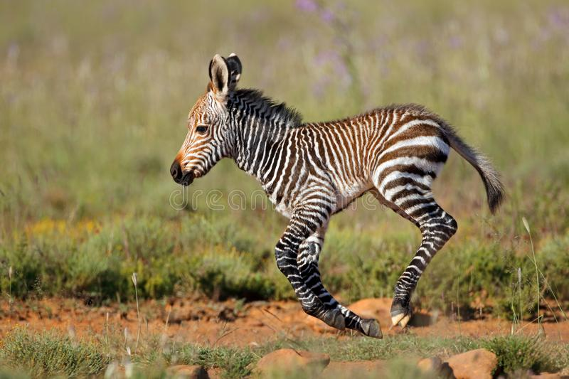 Cape mountain zebra foal. Cape mountain zebra Equus zebra foal running, Mountain Zebra National Park, South Africa royalty free stock photo