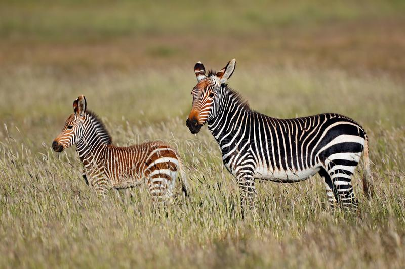 Cape mountain zebra with foal. Cape mountain zebra Equus zebra mare with foal, Mountain Zebra National Park, South Africa stock images