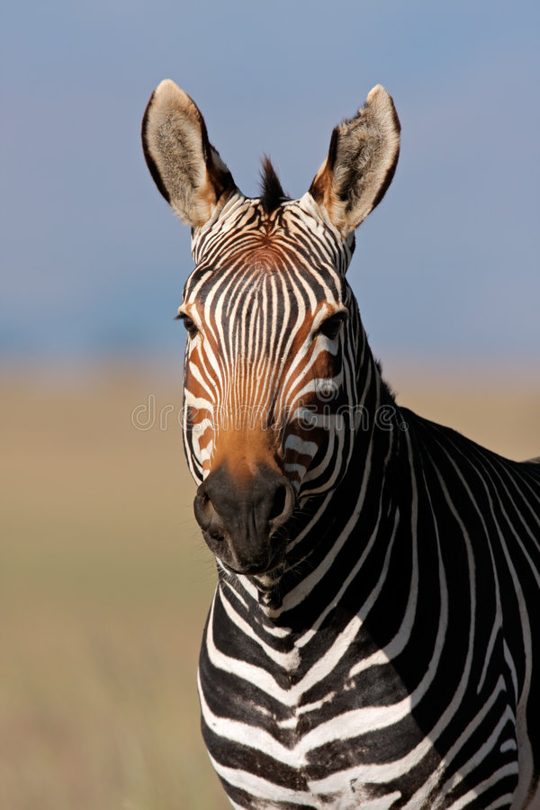 Cape Mountain Zebra Portrait Royalty Free Stock Photo