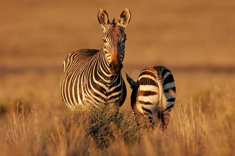 Cape Mountain Zebras royalty free stock images