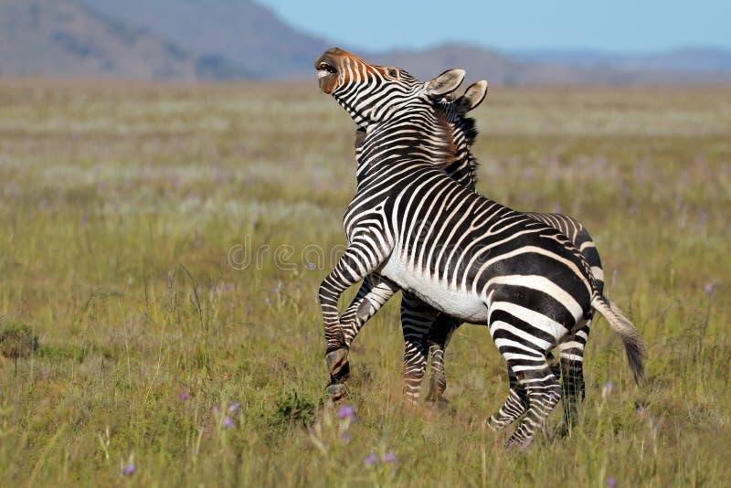 Cape mountain zebras fighting stock photos