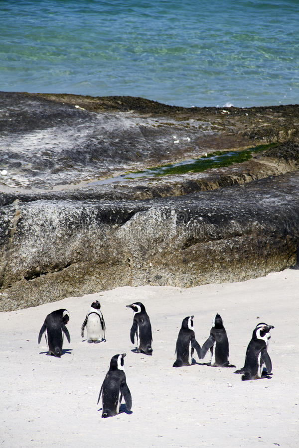 Cape Penguins On Boulders Beach Stock Image