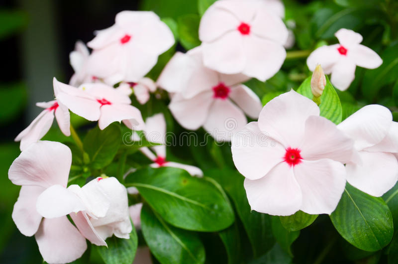 Cape periwinkle flower royalty free stock image
