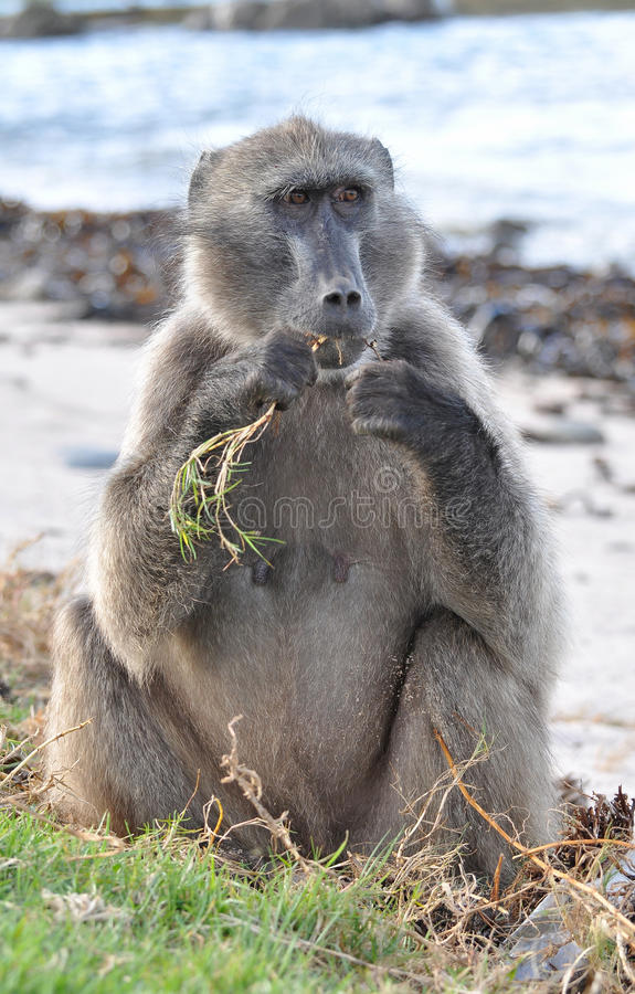 Cape point wildlife royalty free stock photo