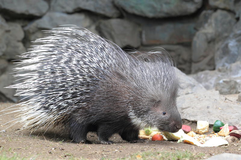 Cape porcupine. The cape porcupine with food royalty free stock image