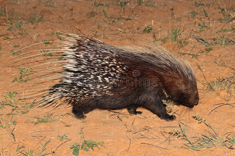 Cape porcupine. (Hystrix africaeaustralis), South Africa stock images