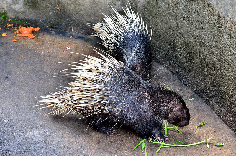 Cape porcupine. (Hystrix brachyura royalty free stock photography