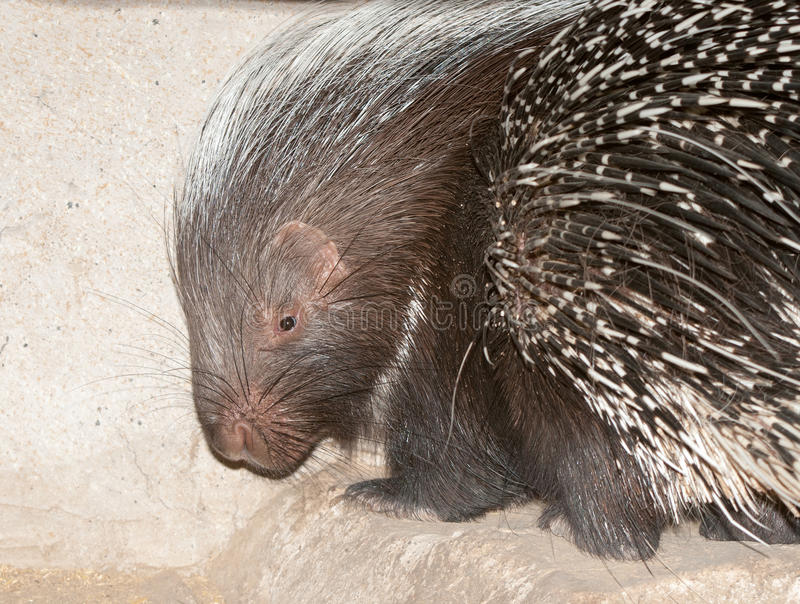 Cape porcupine. The Cape porcupine or South African porcupine, Hystrix africaeaustralis, is native to central and southern Africa stock images