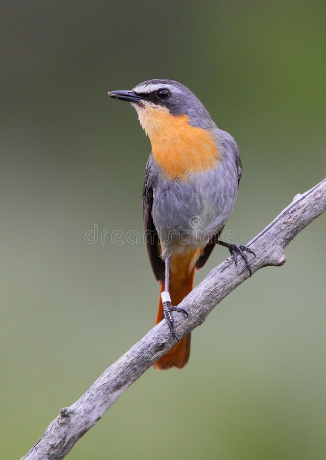 Free Cape Robin Chat Stock Images - 16624674
