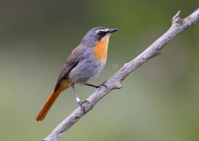 Download Cape robin chat stock photo. Image of south, family, chat - 16624740