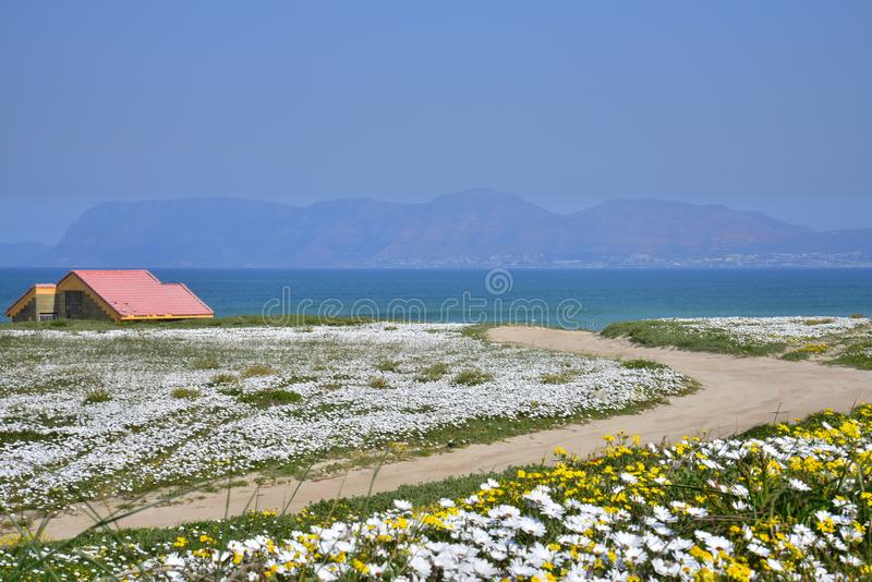 Flowers by the Sea. Cape west coast, south africa stock photos