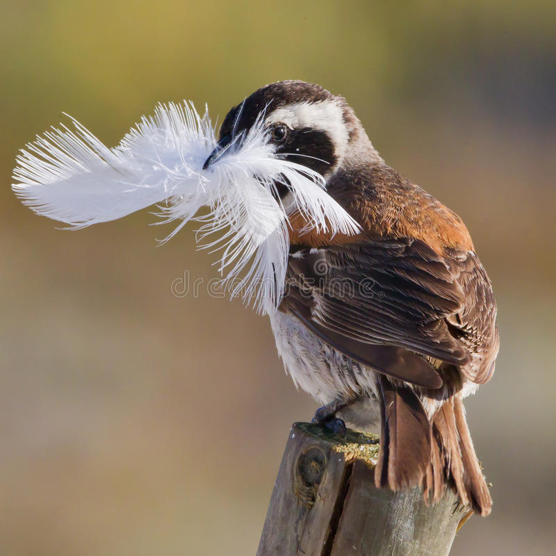 Cape Sparrow or Mossie