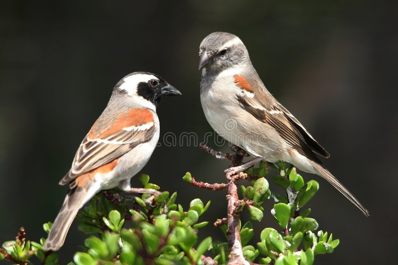 Cape Sparrow Pair royalty free stock photo