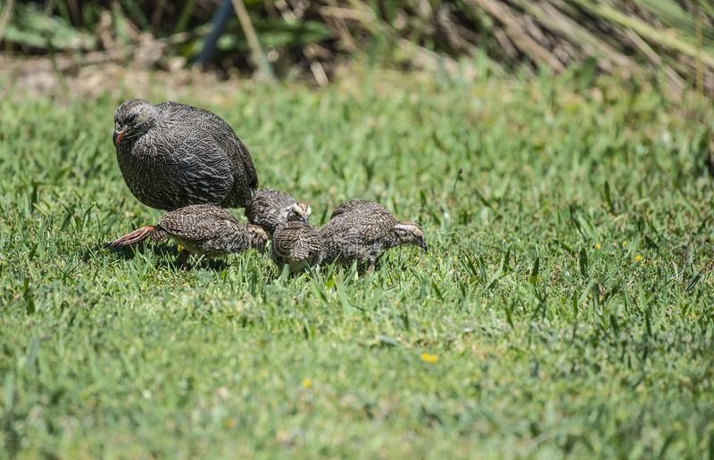 Cape spurfowl, or Cape francolin Pternistis capensis with 3 juveniles foraging on green grass. And hen`s head looking up royalty free stock image